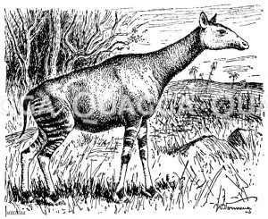 Okapi Zeichnung/Illustration