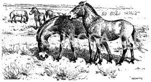 Przewalski Wildpferd Zeichnung/Illustration