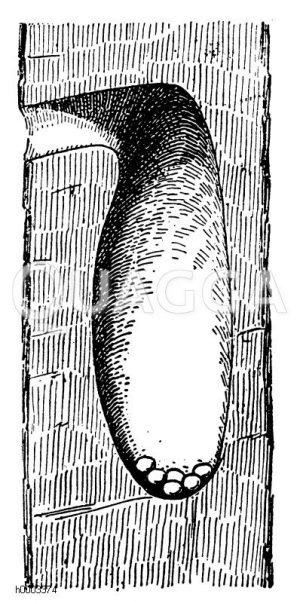 Großer Buntspecht: Nisthöhle Zeichnung/Illustration