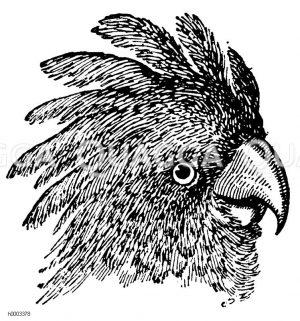 Kakadu: Kopf Zeichnung/Illustration