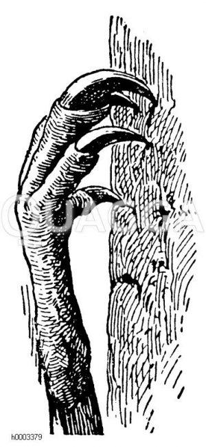 Mauersegler: Klammerfuß Zeichnung/Illustration