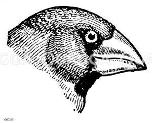 Kernbeißer: Kopf Zeichnung/Illustration
