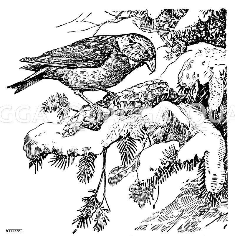 Fichtenkreuzschnabel Zeichnung/Illustration