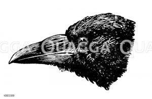Rabenkrähe: Kopf Zeichnung/Illustration