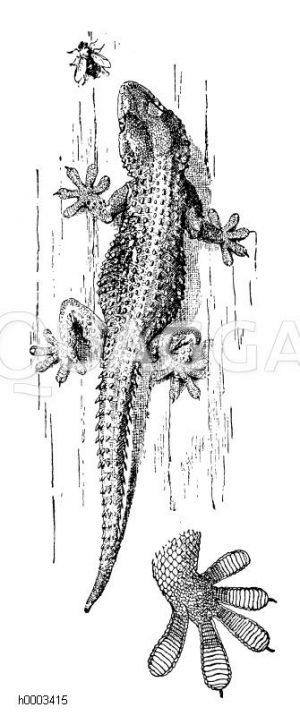 Mauergecko und Fuß von unten gesehen Zeichnung/Illustration