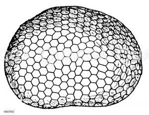 Maikäfer: Augenoberfläche Zeichnung/Illustration