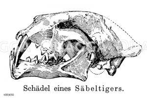 Säbelzahntiger: Schädel Zeichnung/Illustration