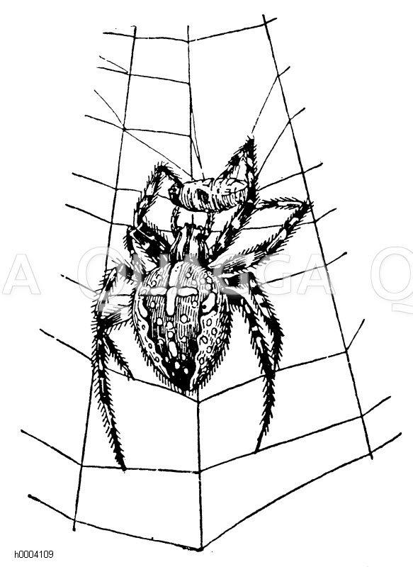 Kreuzspinne mit gefangener und umsponnener Fliege Zeichnung/Illustration