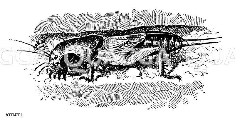 Maulwurfsgrille Zeichnung/Illustration