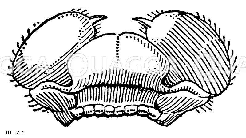 Wasserjungfer: Unterlippe Zeichnung/Illustration
