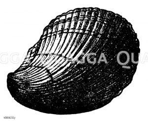 Abdruck einer Muschel aus dem Muschelkalk Zeichnung/Illustration