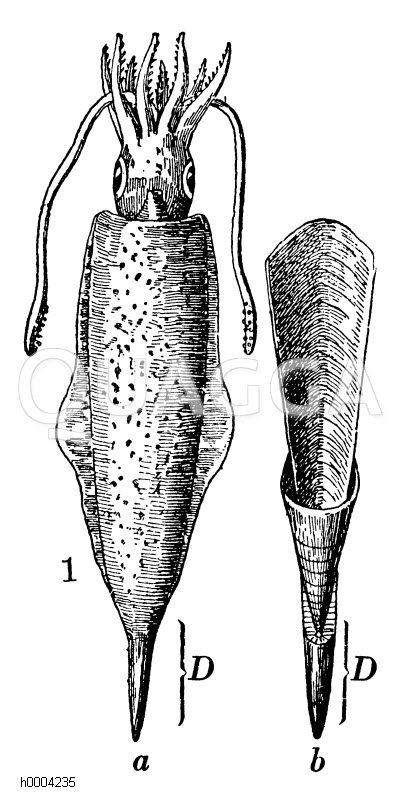 Belemnit: Wiederhergestelltes Tier und innere Schale Zeichnung/Illustration