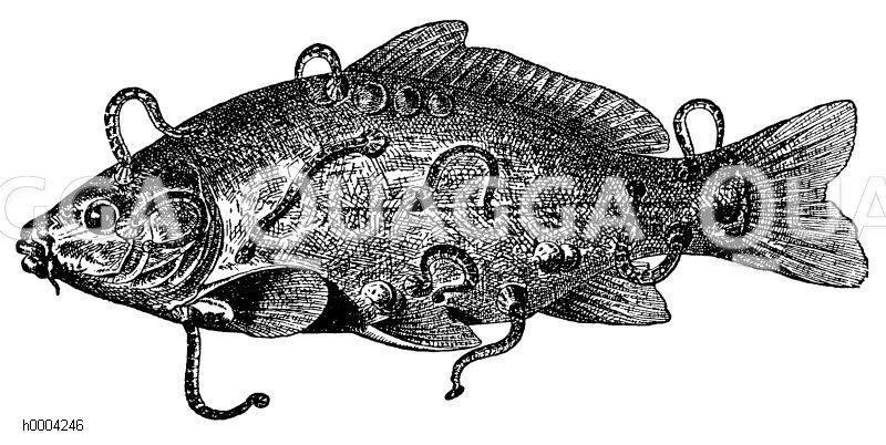 Fischegel an Karpfen Zeichnung/Illustration