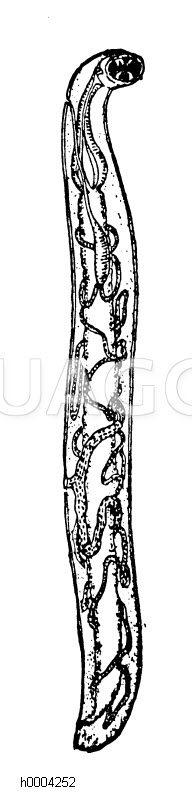 Grubenwurm Zeichnung/Illustration