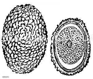 Spulwurm: Eier Zeichnung/Illustration