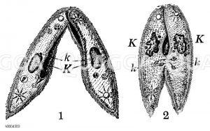 Pantoffeltierchen: Verschmelzung Zeichnung/Illustration
