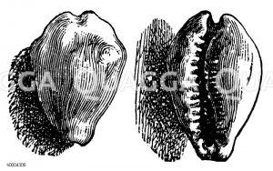 Kaurischnecke Zeichnung/Illustration