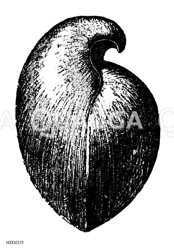 Armfüßler Zeichnung/Illustration