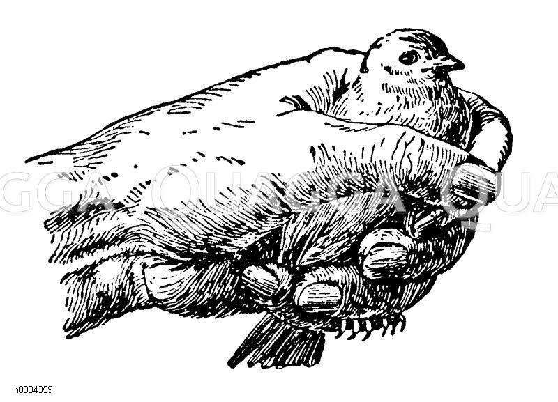 Vogel: Richtiges Festhalten Zeichnung/Illustration
