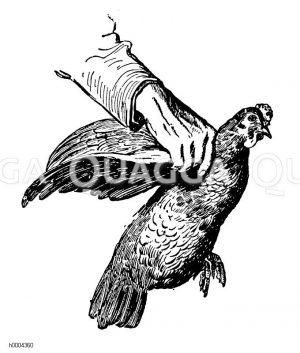 Huhn: Richtiges Festhalten Zeichnung/Illustration