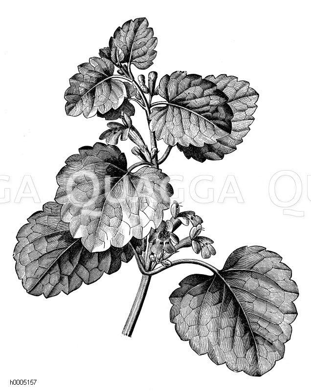 Gundermann Zeichnung/Illustration