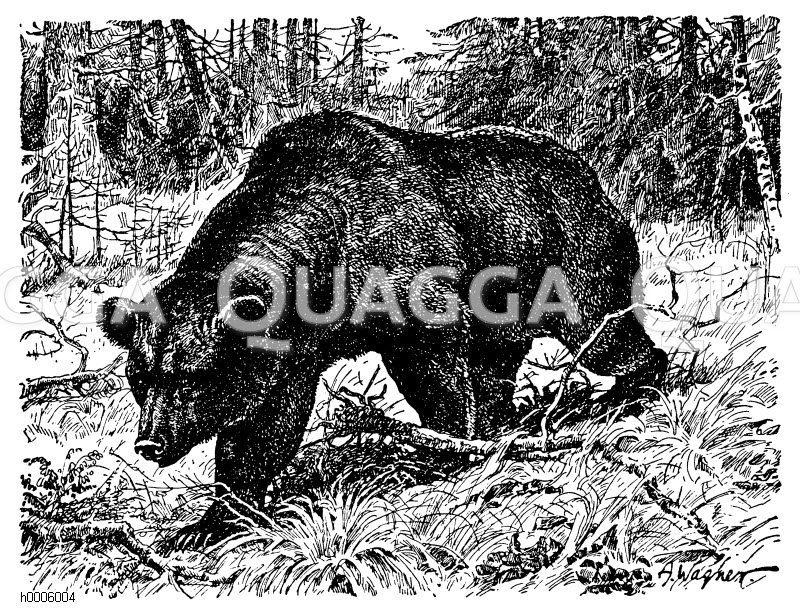 Brauner Bär Zeichnung/Illustration