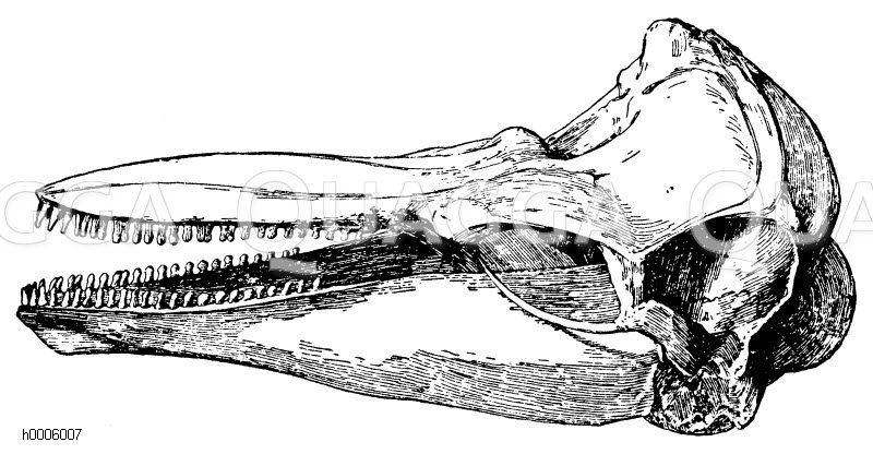 Braunfisch: Schädel Zeichnung/Illustration
