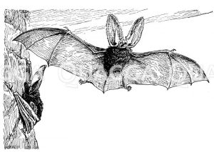 Großohrige Fledermaus Zeichnung/Illustration