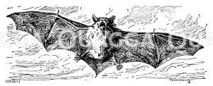 Zwergfledermaus Zeichnung/Illustration