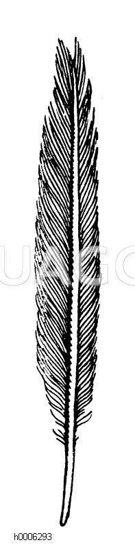 Großer Buntspecht: Schwanzfeder Zeichnung/Illustration