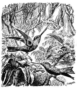 Kolibris Zeichnung/Illustration