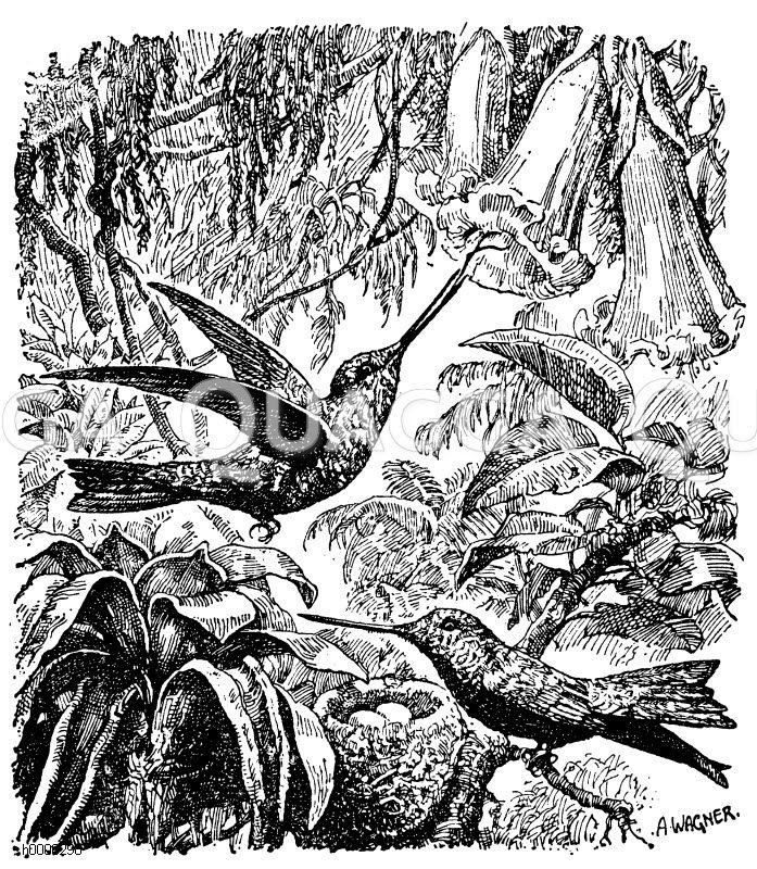 Kolibris Zeichnung/Illustration