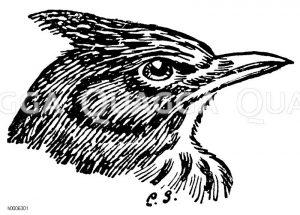 Haubenlerche: Kopf Zeichnung/Illustration