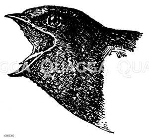 Rauchschwalbe: Kopf Zeichnung/Illustration