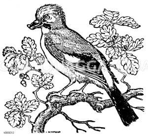 Eichelhäher Zeichnung/Illustration