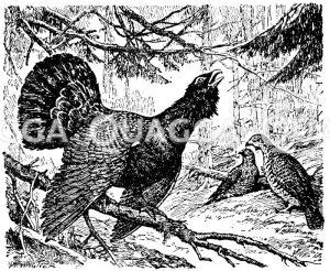 Auerhuhn: Am Boden zwei Hennen