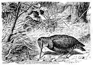 Waldschnepfe Zeichnung/Illustration