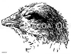 Huhn: Kopf des Kükens mit Eizahn kurz vor dem Verlassen des Eis Zeichnung/Illustration