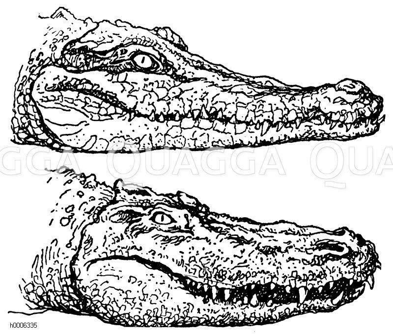 Gavial (oben) und Alligator (Mississippi-Kaiman
