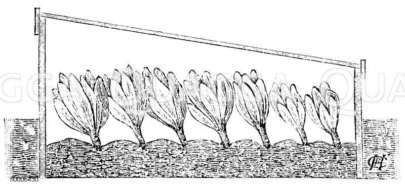 Blumenkohl im Mistbeetkasten Zeichnung/Illustration