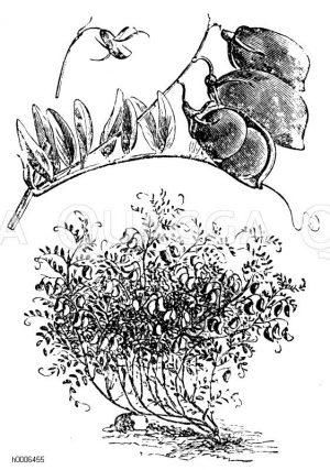 Große Thüringer Hellerlinse Zeichnung/Illustration