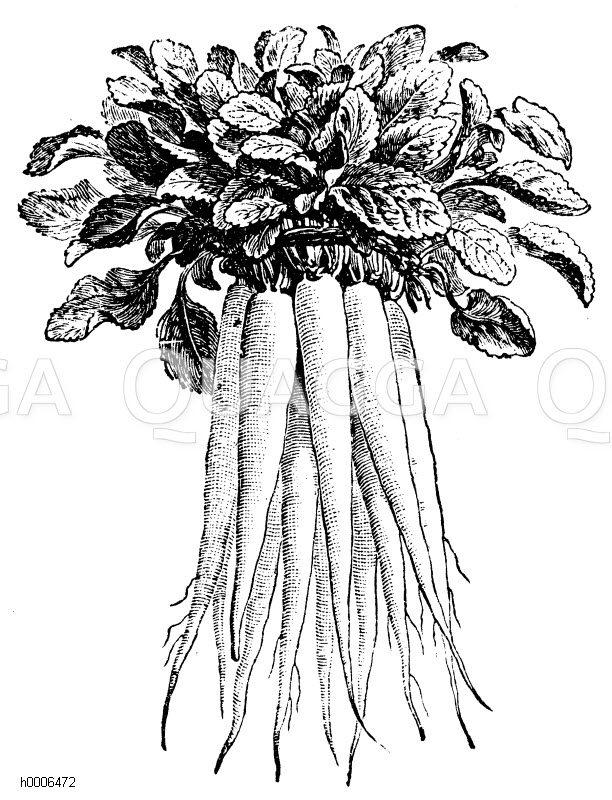 Rapunzelwurzel Zeichnung/Illustration