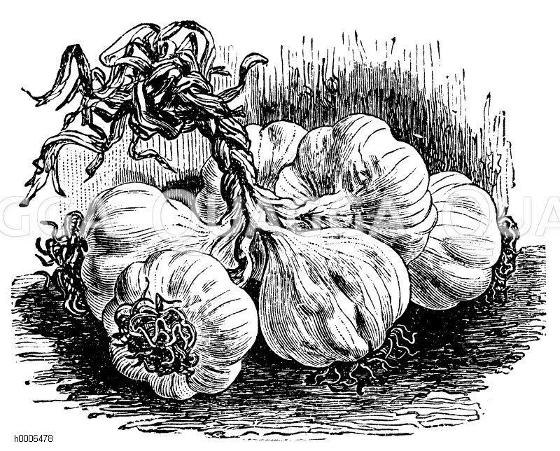 Knoblauch Zeichnung/Illustration