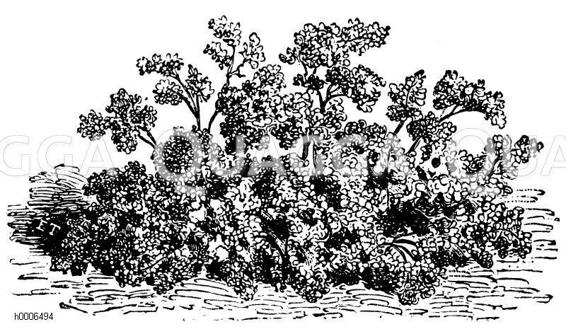 Kerbel Zeichnung/Illustration