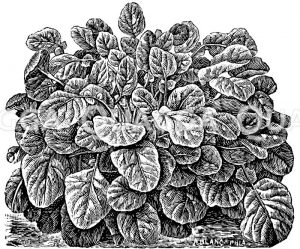 Amerikanische Winterkresse oder Upland-Cress Zeichnung/Illustration