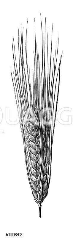 Gerste: Vierzeilige Gerste Zeichnung/Illustration