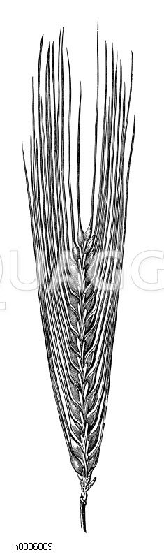 Gerste: Zweizeilige Gerste Zeichnung/Illustration