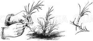 Nelken: Vermehrung durch Absenken Zeichnung/Illustration