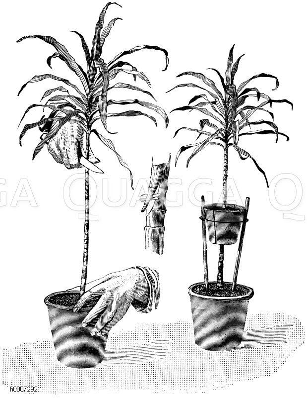 Vermehrung unschöngewordener Cordylinen (Dracänen) durch Absenker Zeichnung/Illustration