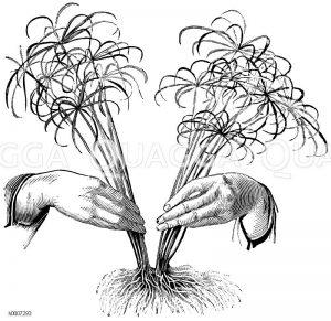 Cyperuspflanze: Teilung Zeichnung/Illustration